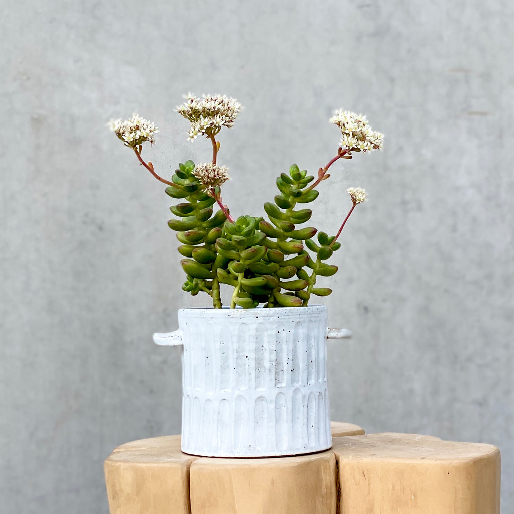 Succulent + Milk Wash Artisan Planter Small Vertical Lines