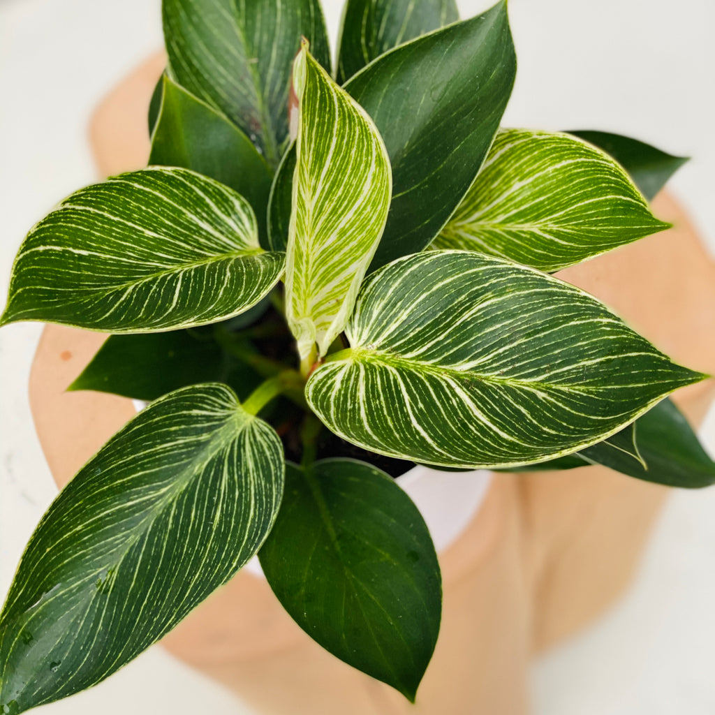 Philodendron Birkin 12cm + Collectors Gro Pot Large White