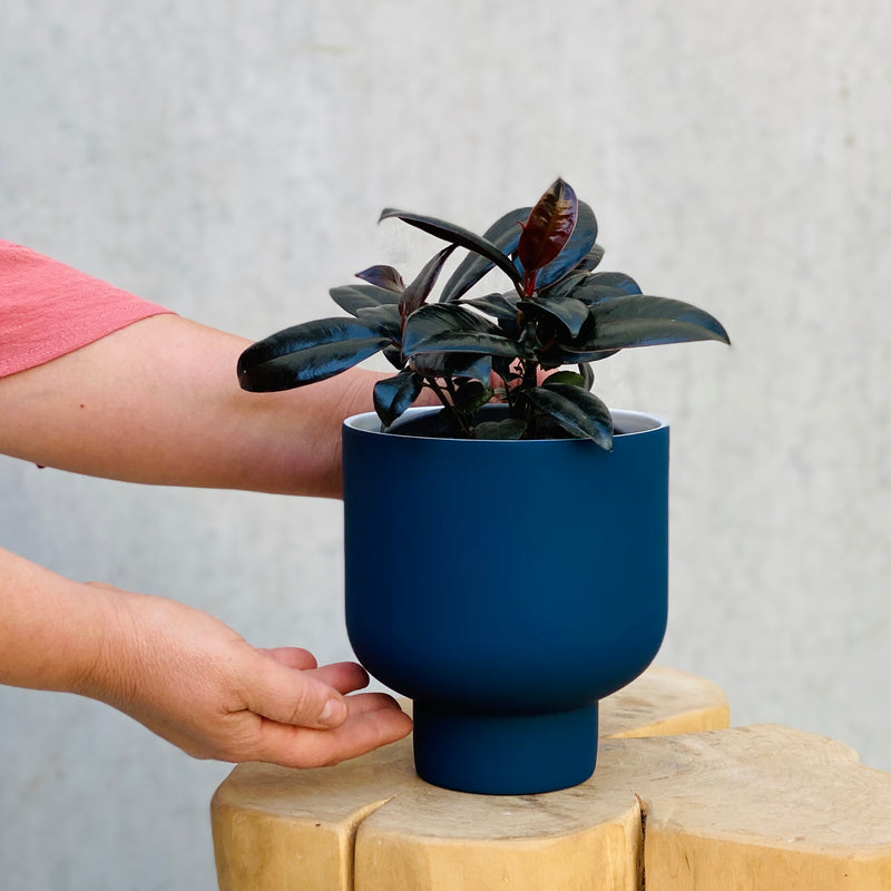 Rubber Plant + Fergus Planter Small Navy