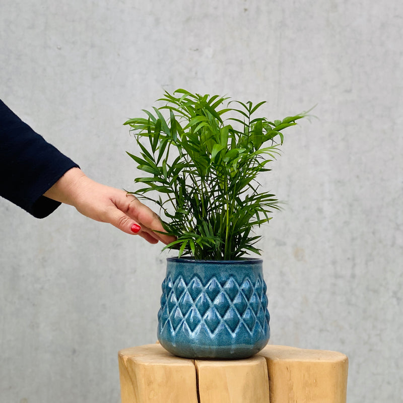 Parlour Palm + Aztec Pot