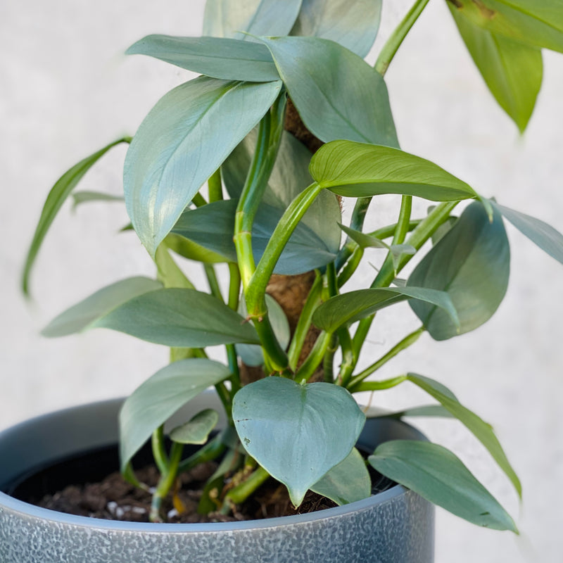 Philodendron Silver Sword + Mio Pot Large Smoke