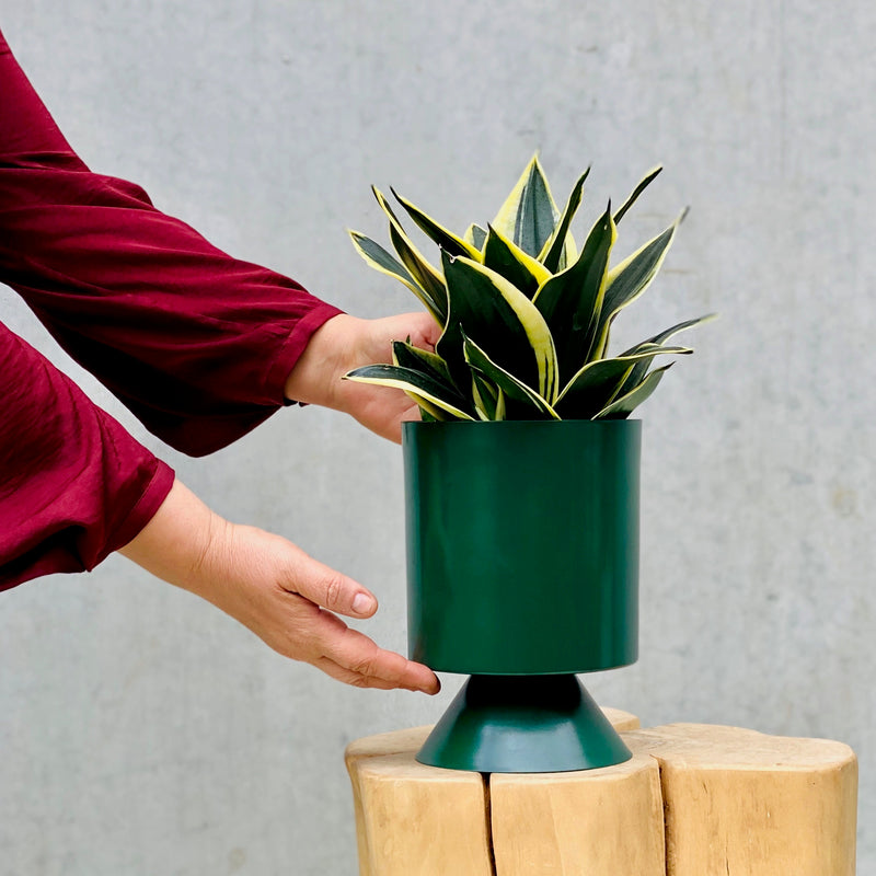 Mother in Law Tongue + Palm Springs Planter Small Forest