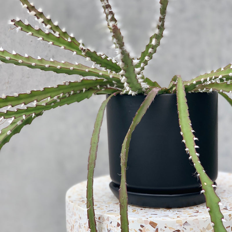 Mistletoe Cactus + Black Ceramic Pot
