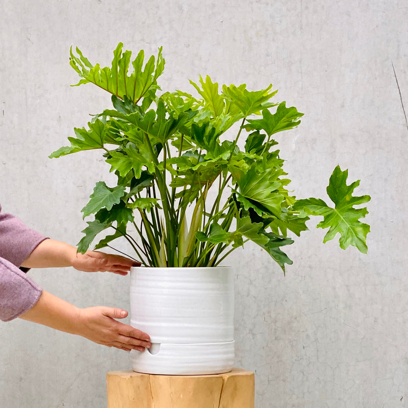 Philodendron Hope 20cm + Ceramic Pot White Tall