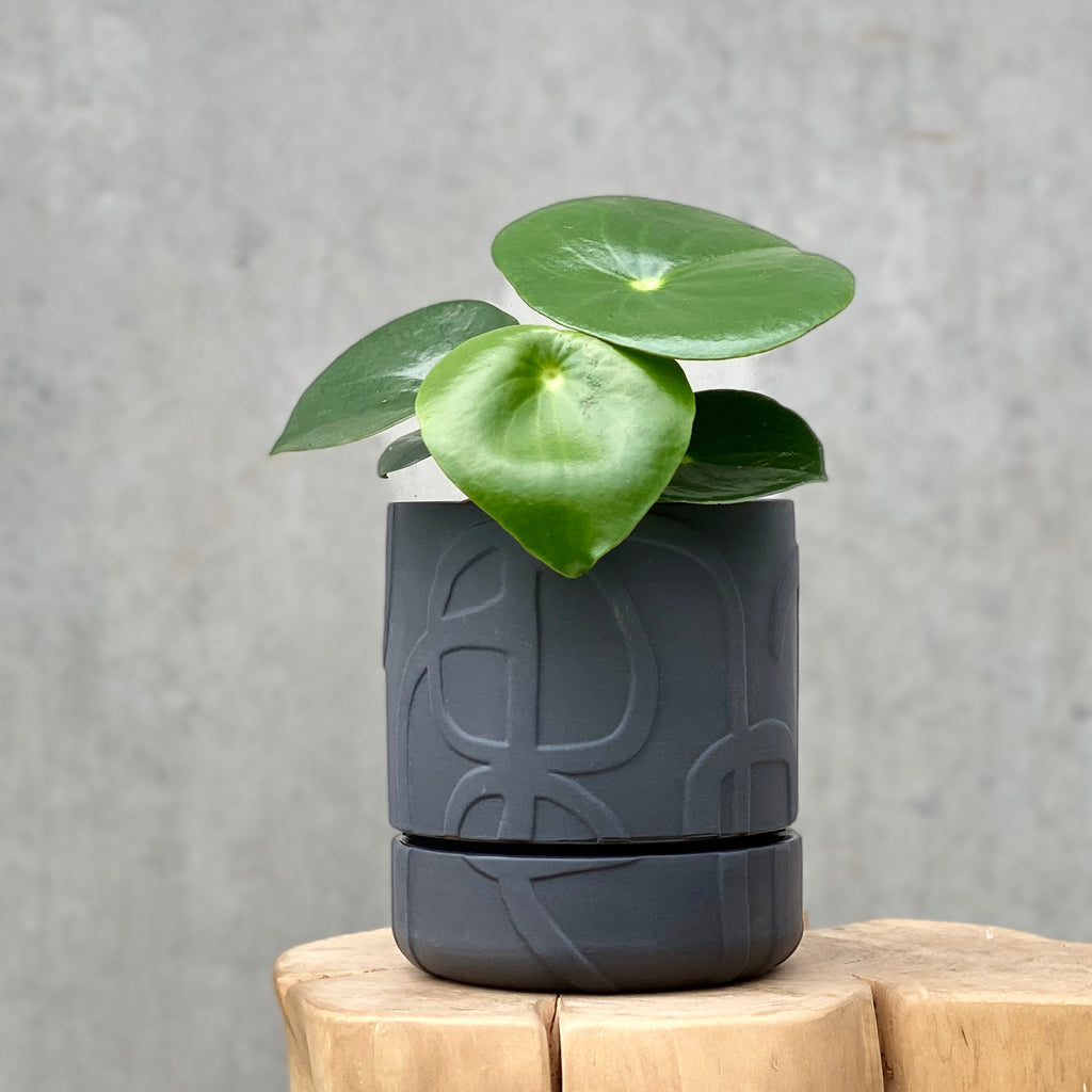 Peperomia raindrop + Abstract Relief Plant Pot Brush Line Thick Charcoal