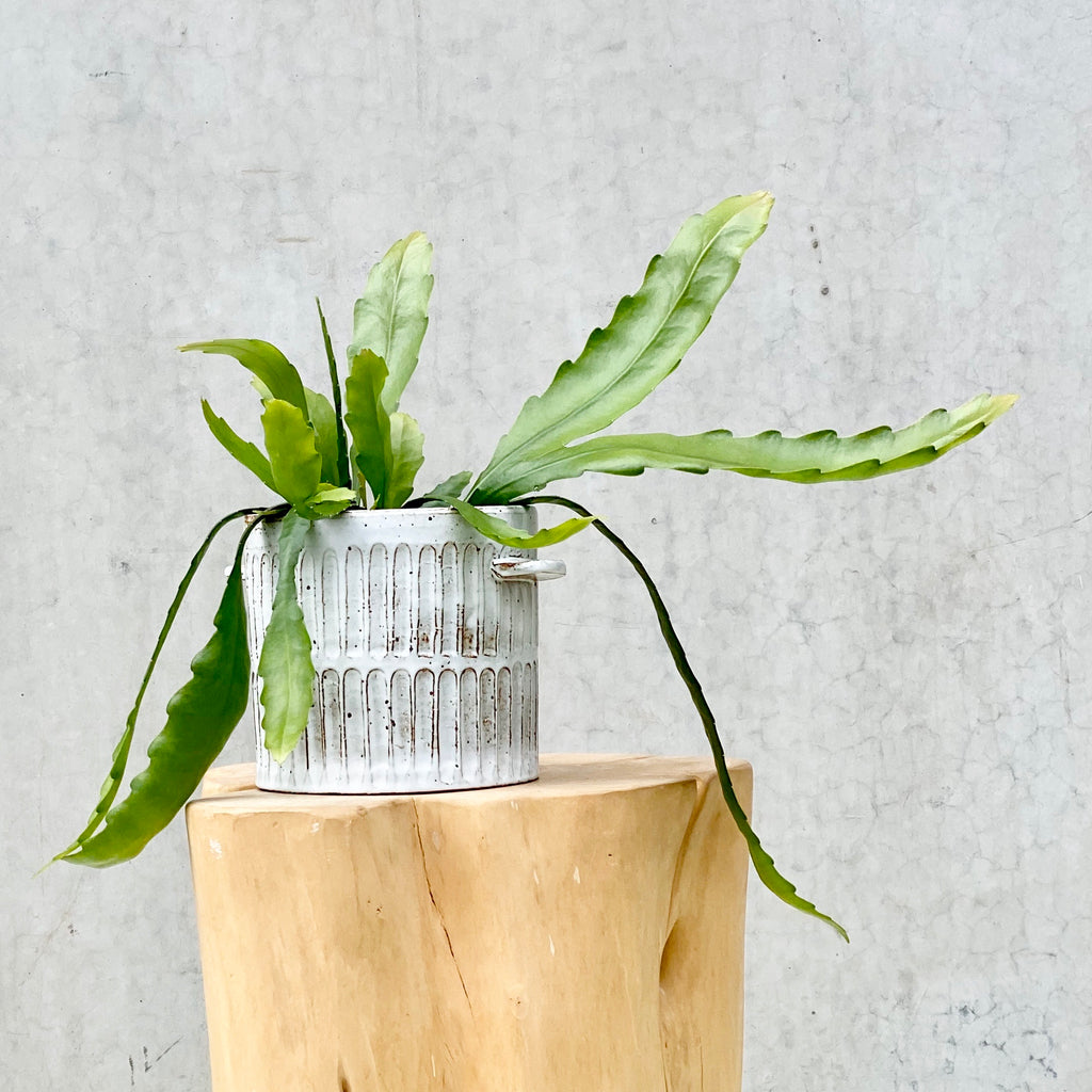 Disocactus Nelsonii + Milk Wash Artisan Planter Large Vertical Lines