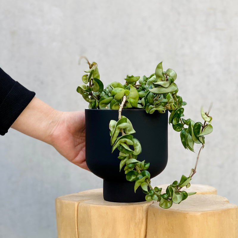 Indian Rope Hoya + Fergus Planter Small Black