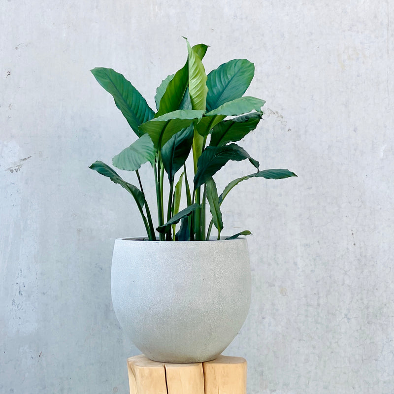 Peace Lily 'Blue Moon' + Pedra Pot Large