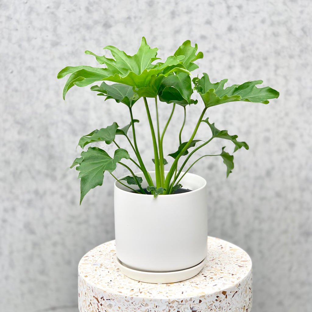 Philodendron Lickety Split 13cm