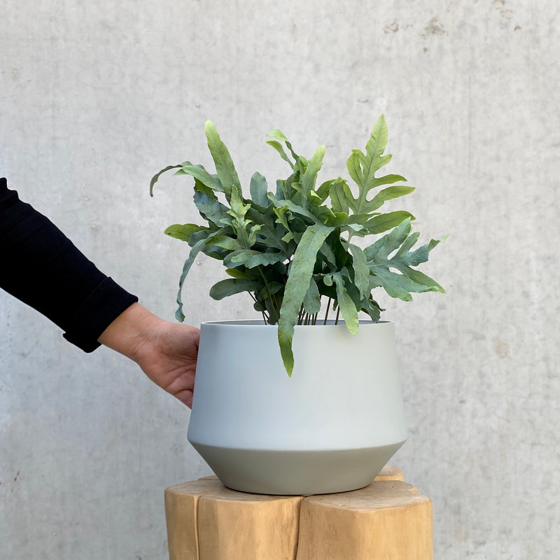 Blue Star Fern + Samso Planter Large Grey