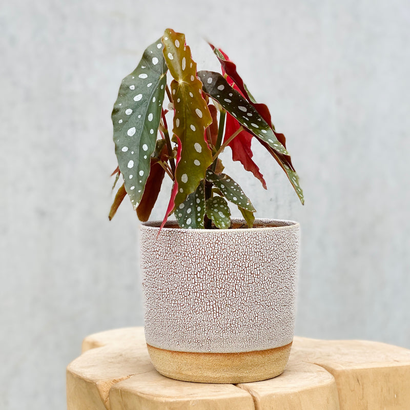 Begonia Maculata + Clay by Tina Crackle Glaze XM Handmade Planter