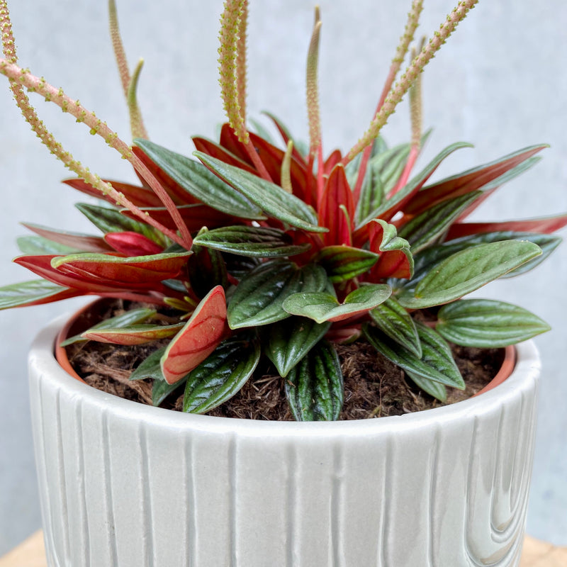 Peperomia Rosso + Gracie Planter Mint