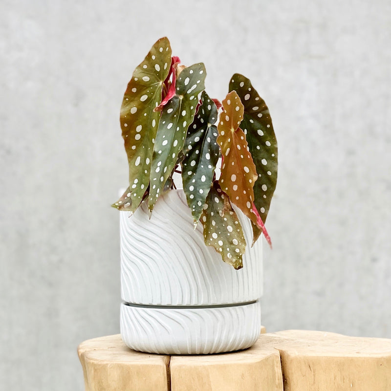 Begonia Maculata + Abstract Relief Plant Pot Brush Line Thin Light Grey