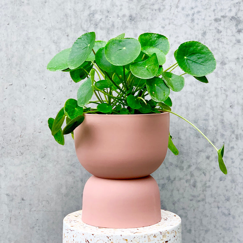 Chinese Money Plant 20cm