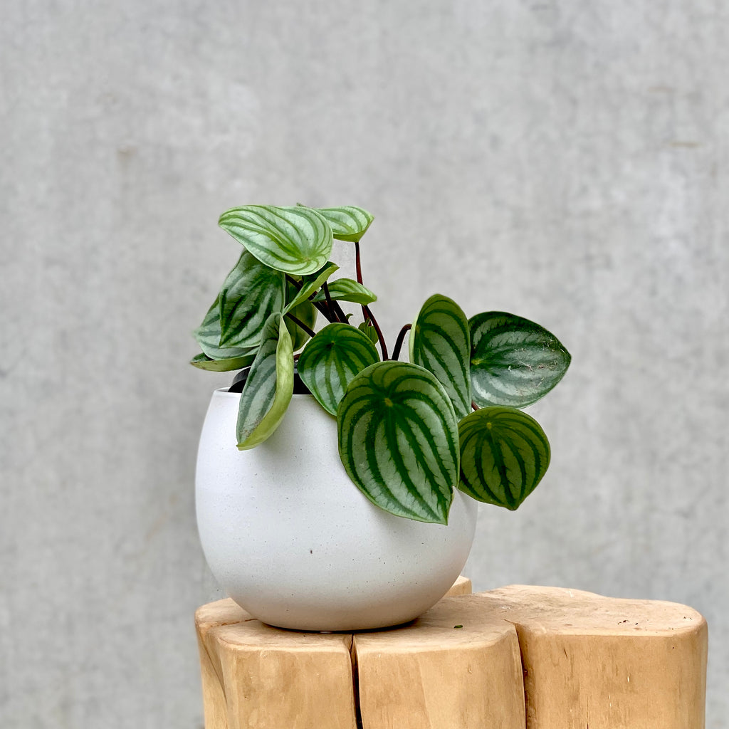 Watermelon Peperomia 15cm (PLANT ONLY)