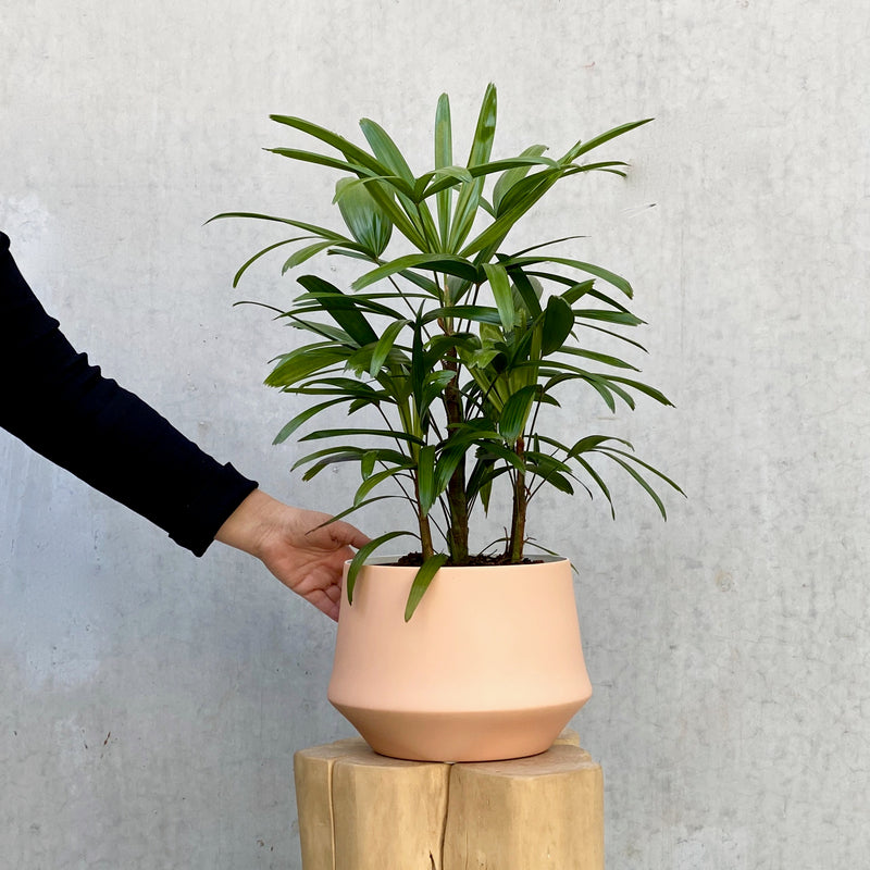 Rhapis Palm + Samso Planter Large Blush
