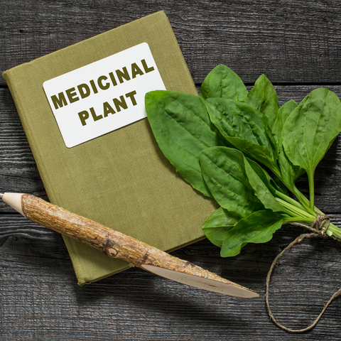 Plantain herbal medicine more than a weed