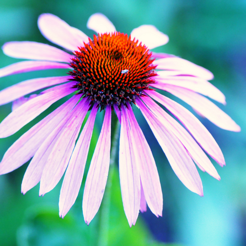 Echinacea to support children's immune systems during cold and flu season
