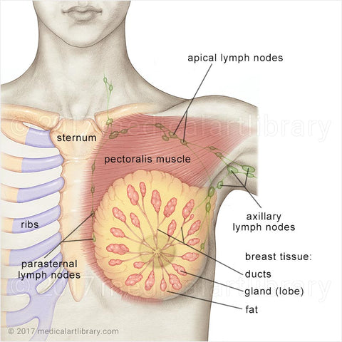 Breast anatomy clogged milk ducts