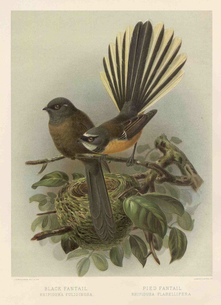 Fantails, Black and Pied (Reproduction)