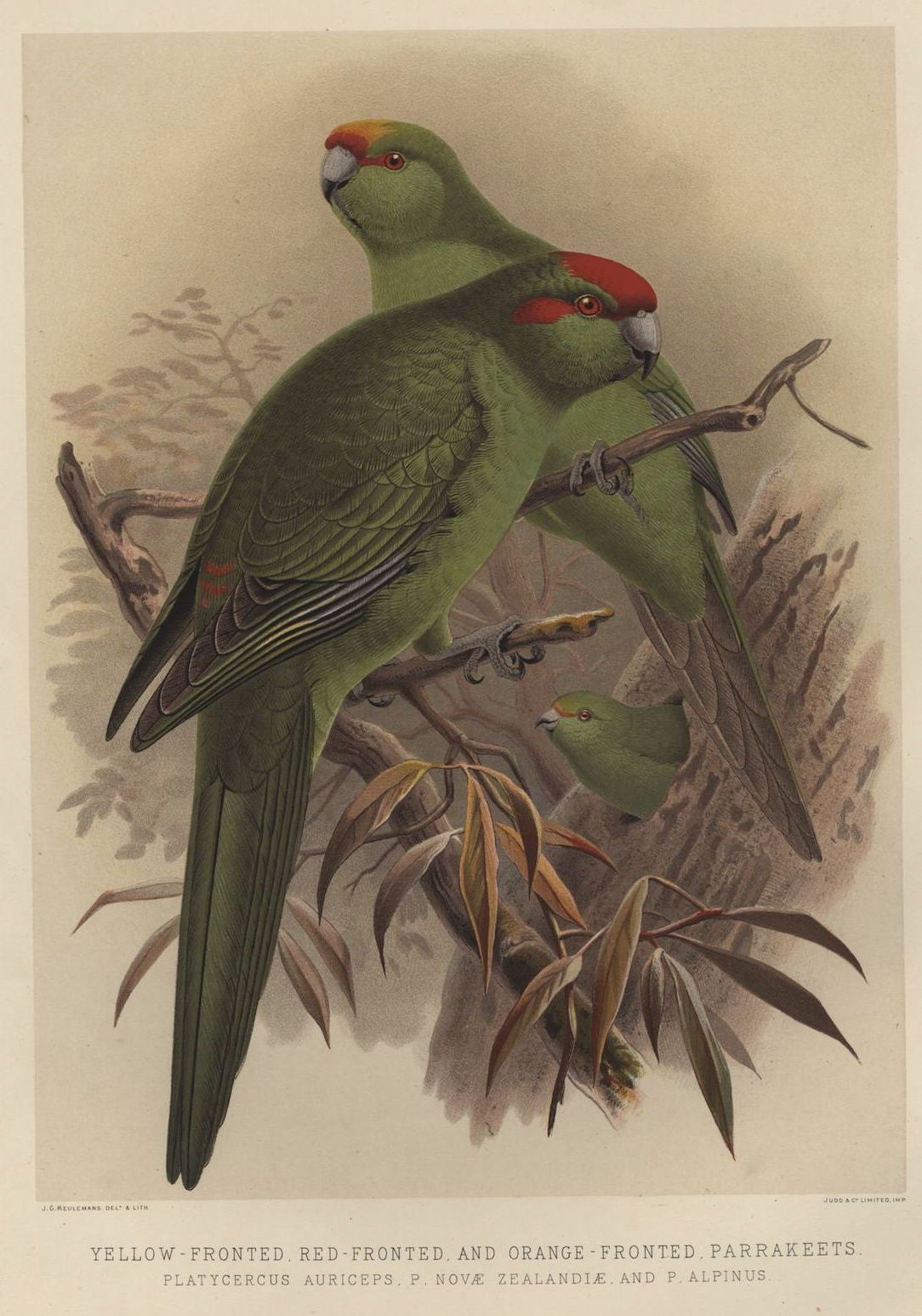 Yellow-fronted, Red-fronted and Orange-fronted Parrakeets