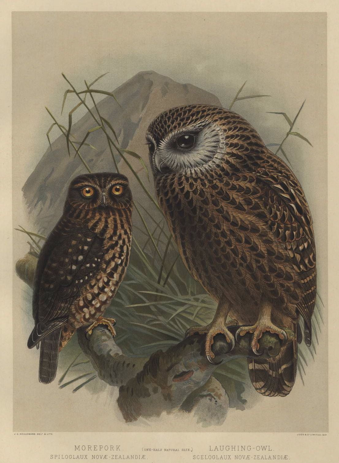 Morepork and Laughing Owl