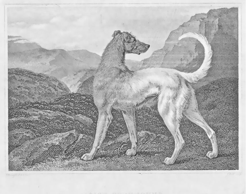 Irish Greyhound