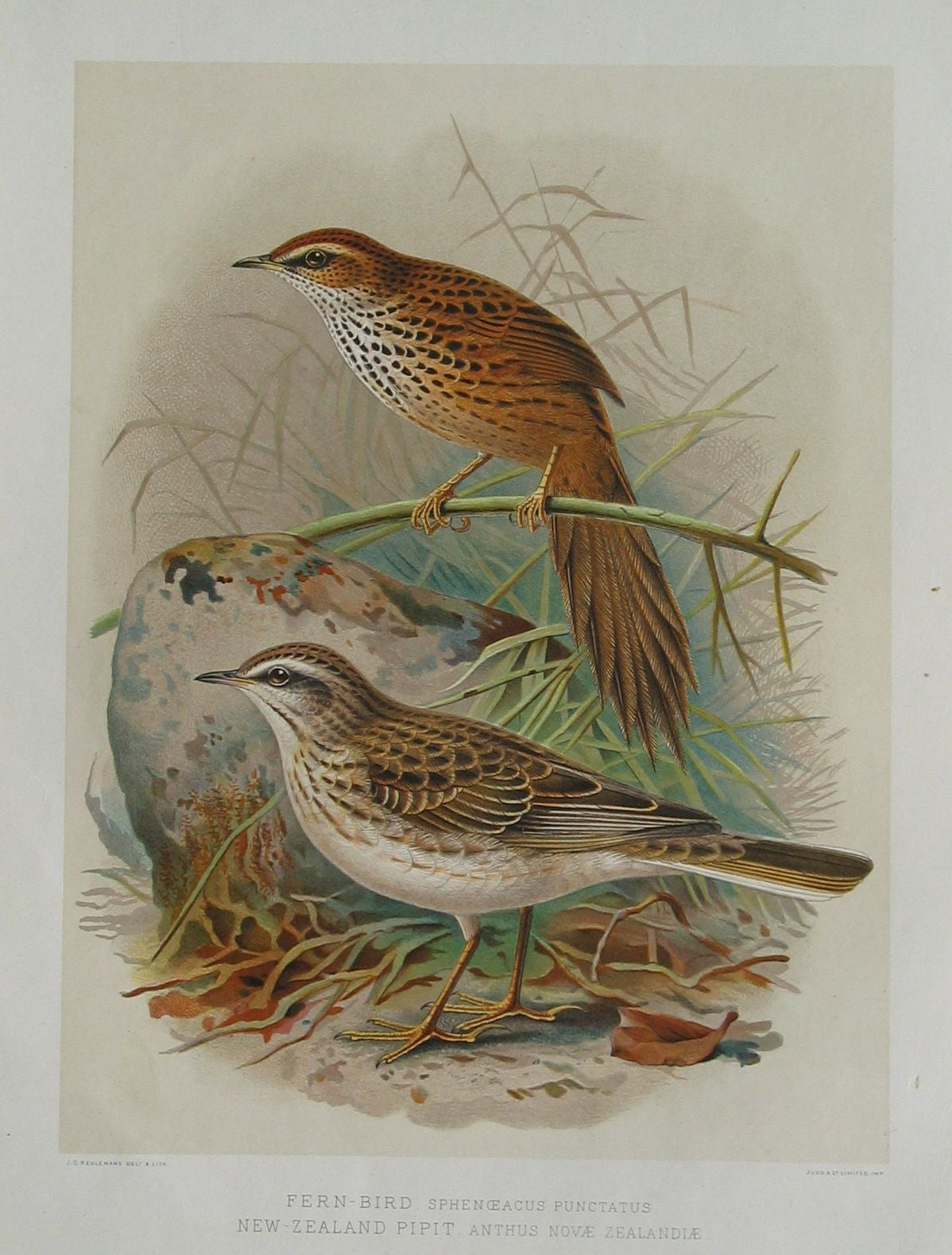 Fern Bird and New Zealand Pipit