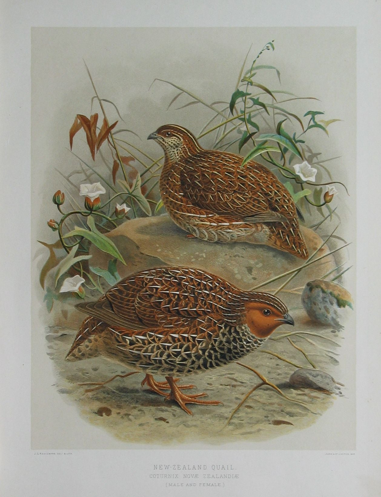 New Zealand Quail
