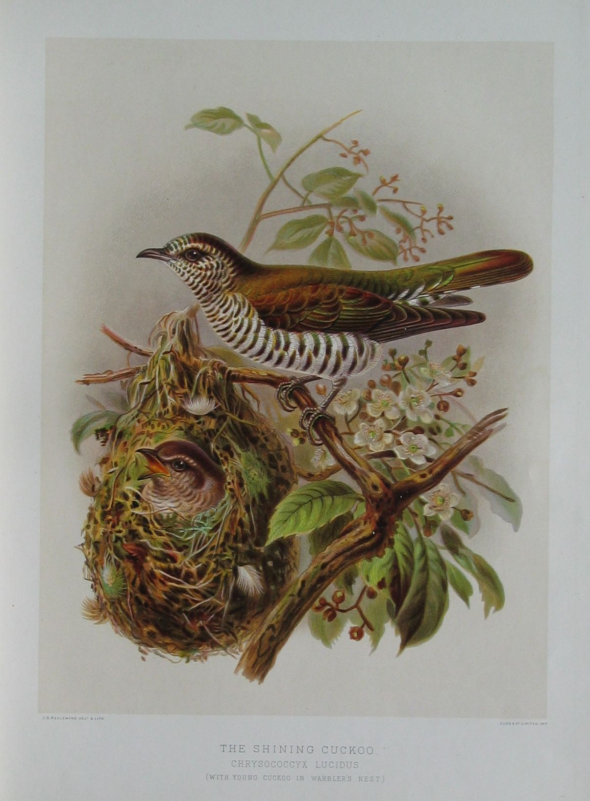 Shining Cuckoo (with young cuckoo in warbler's nest)
