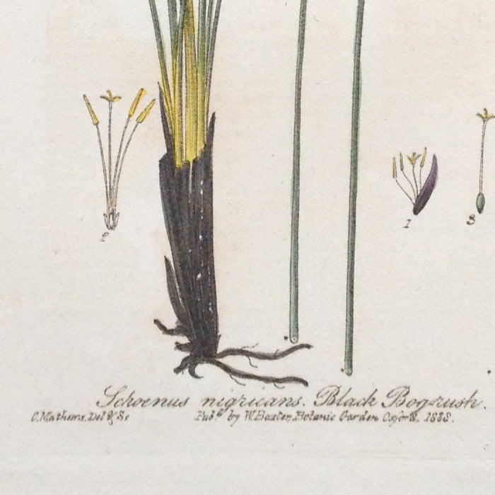 Hand-coloured Botanical Copper Engraving (268), William Baxter, 1838