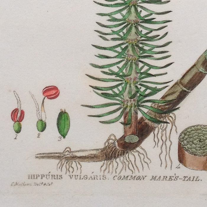 Hand-coloured Botanical Copper Engraving (49), William Baxter