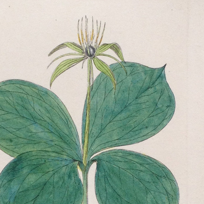 Hand-coloured Botanical Copper Engraving (6), William Baxter