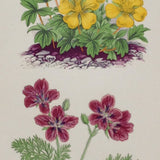 Alpine Botanical Print, XI, David Wooster, 1872