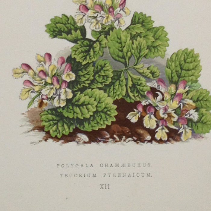 Alpine Botanical Print, XII, David Wooster, 1872