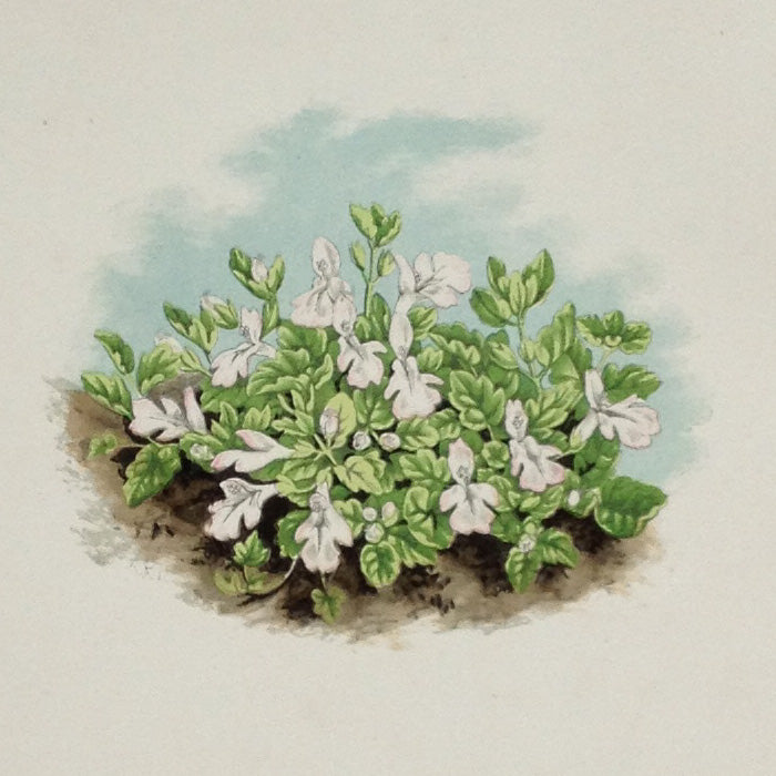 Alpine Botanical Print, I, David Wooster, 1872