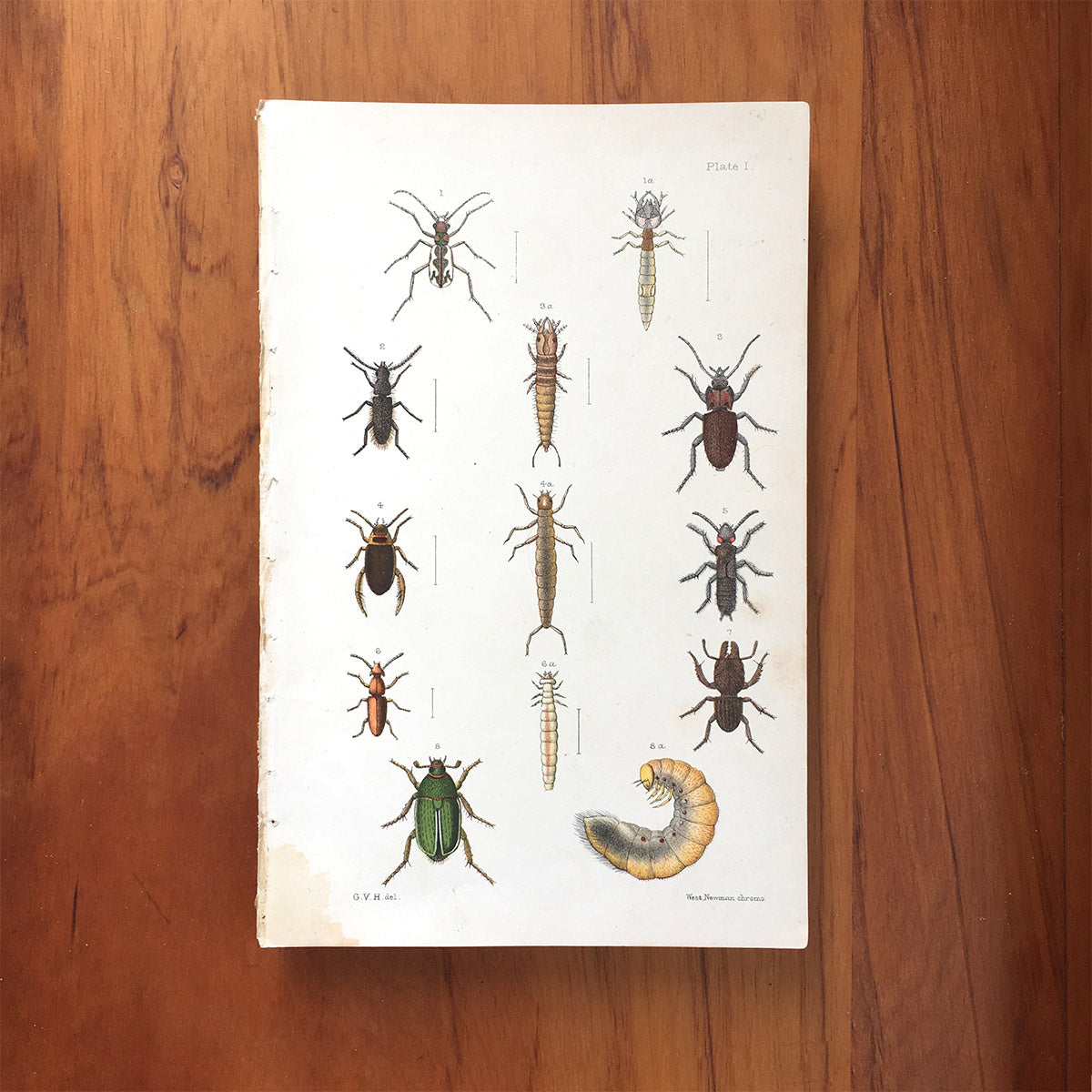 New Zealand insects. Plate I. Coleoptera