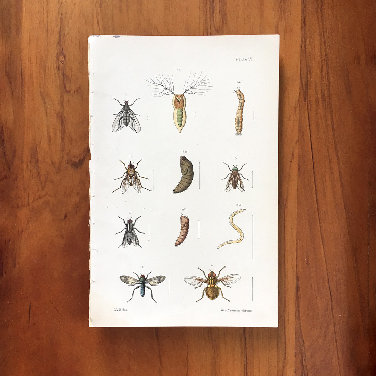 New Zealand insects. Plate VI. Diptera