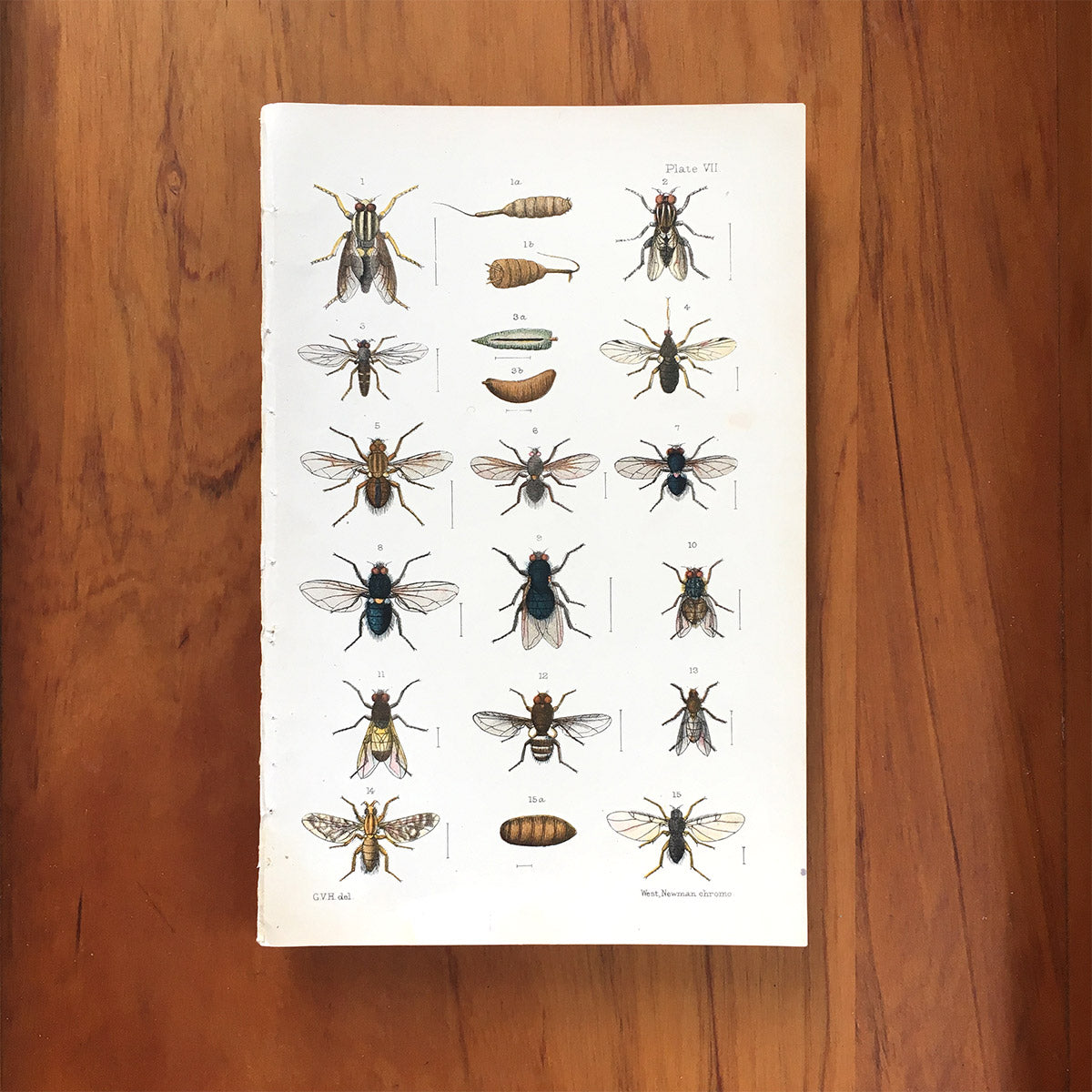 New Zealand insects. Plate VII. Diptera