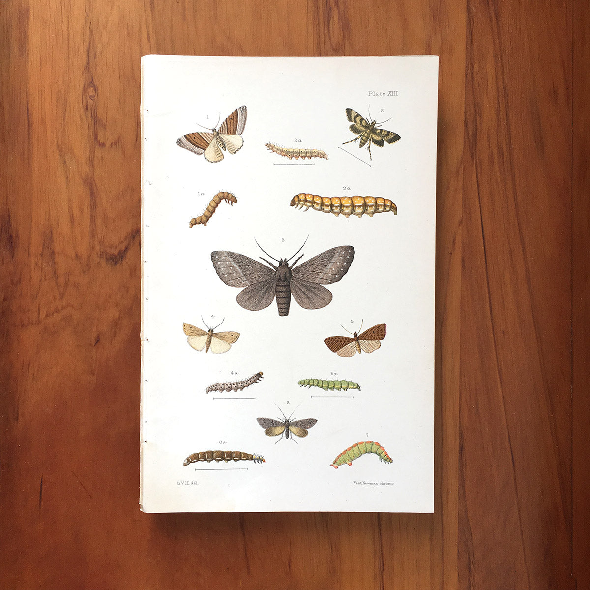 New Zealand insects. Plate XIII. Lepidoptera