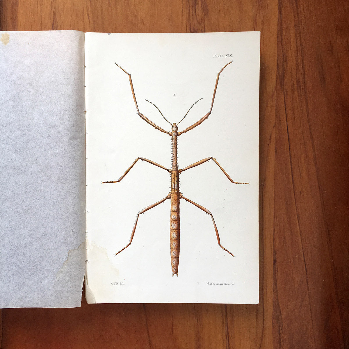 New Zealand insects. Plate XIX. Orthoptera