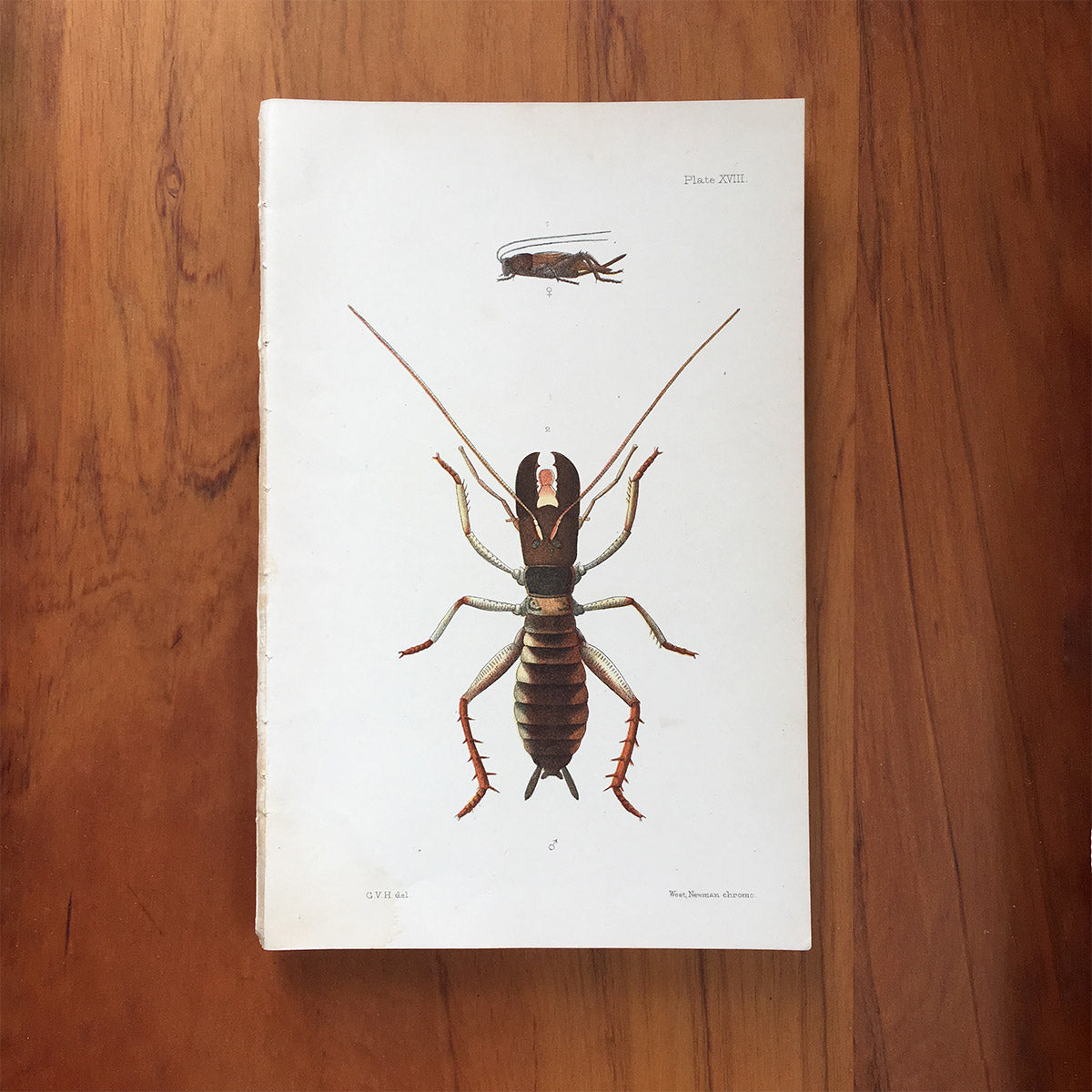 New Zealand insects. Plate XVIII. Orthoptera