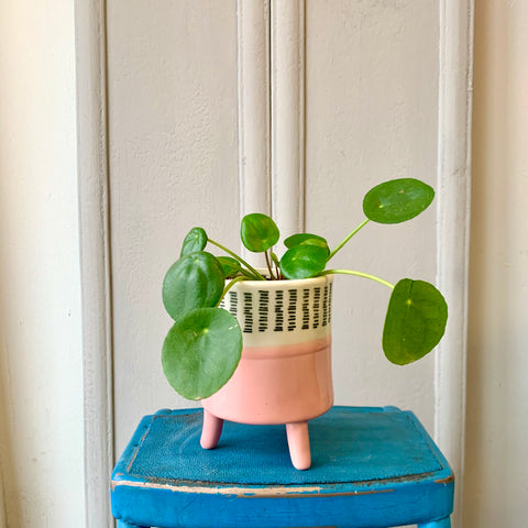 Pilea in a Pink Footed Pot