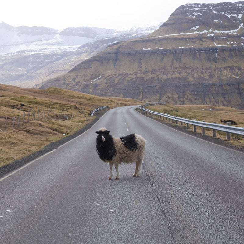 Fancy Tiger Travels to the Faroe Islands, Part 3: Sheep and Wool