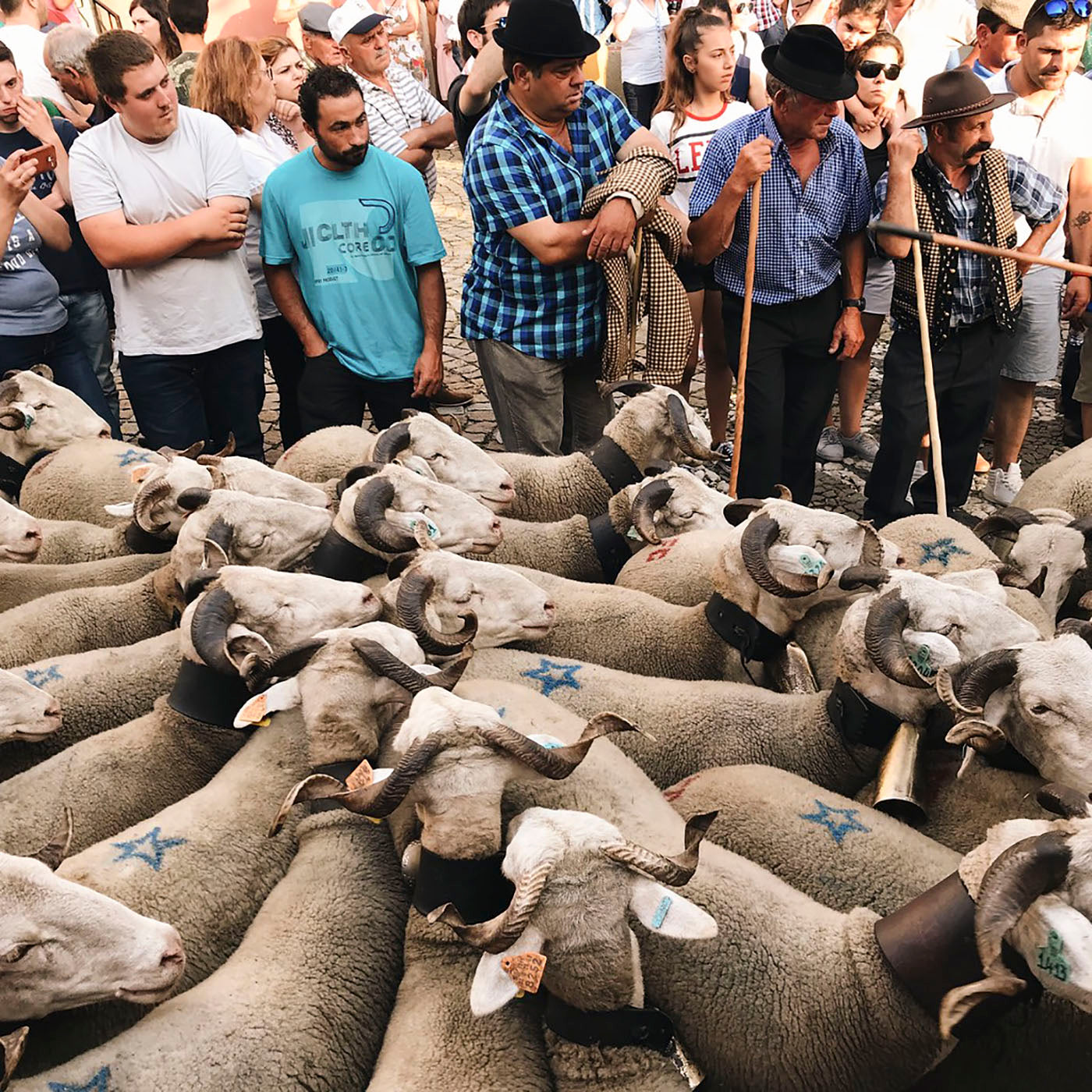 Sheep blessing ceremony in Portugal