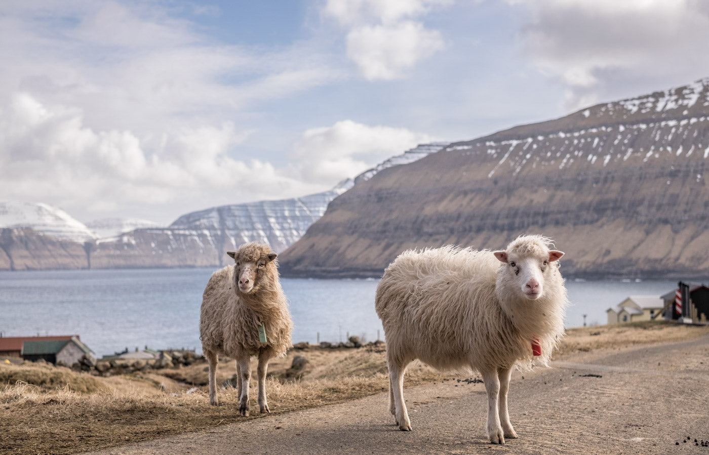 Faroese Sheep