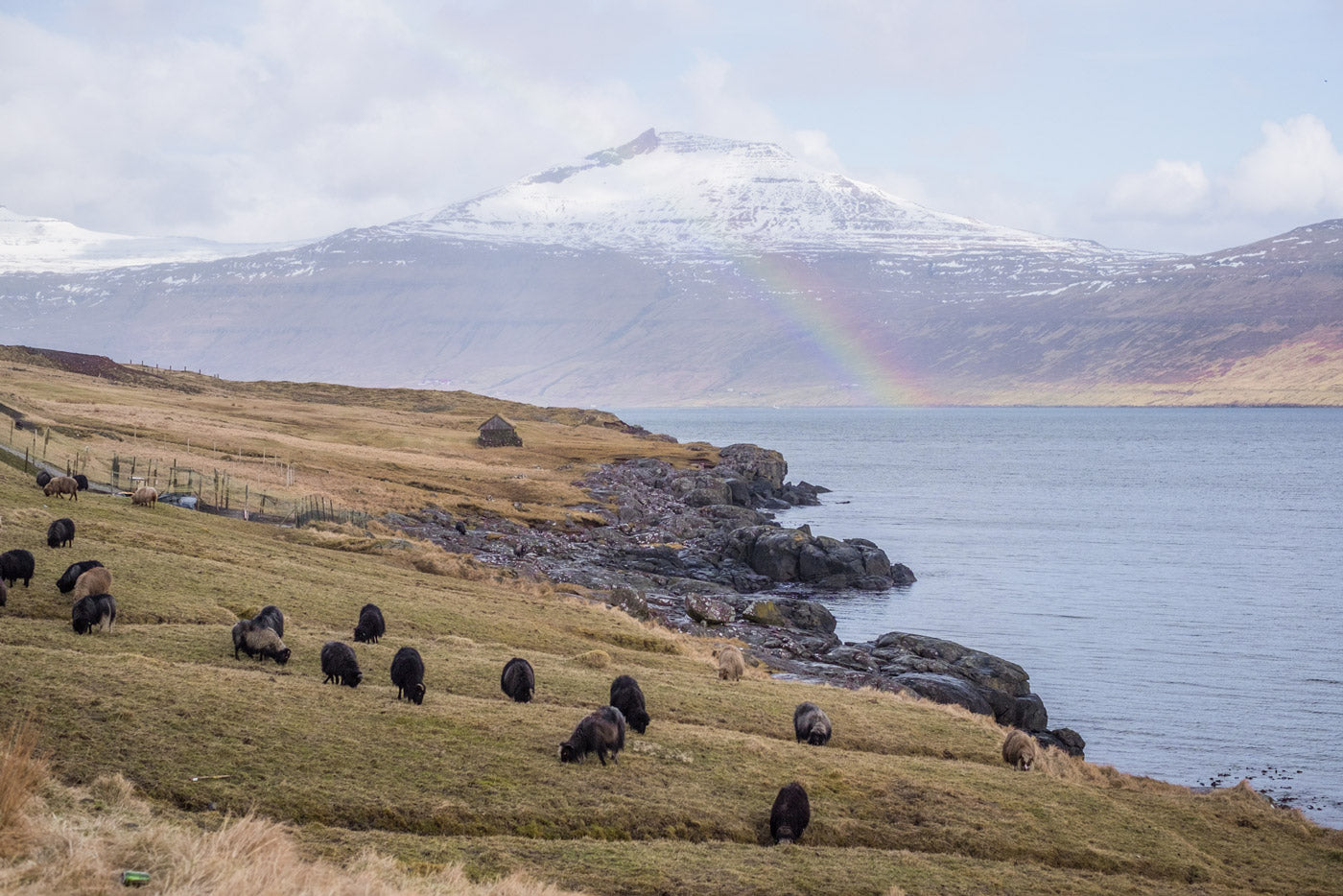 Faroe landscape speckled with sheep