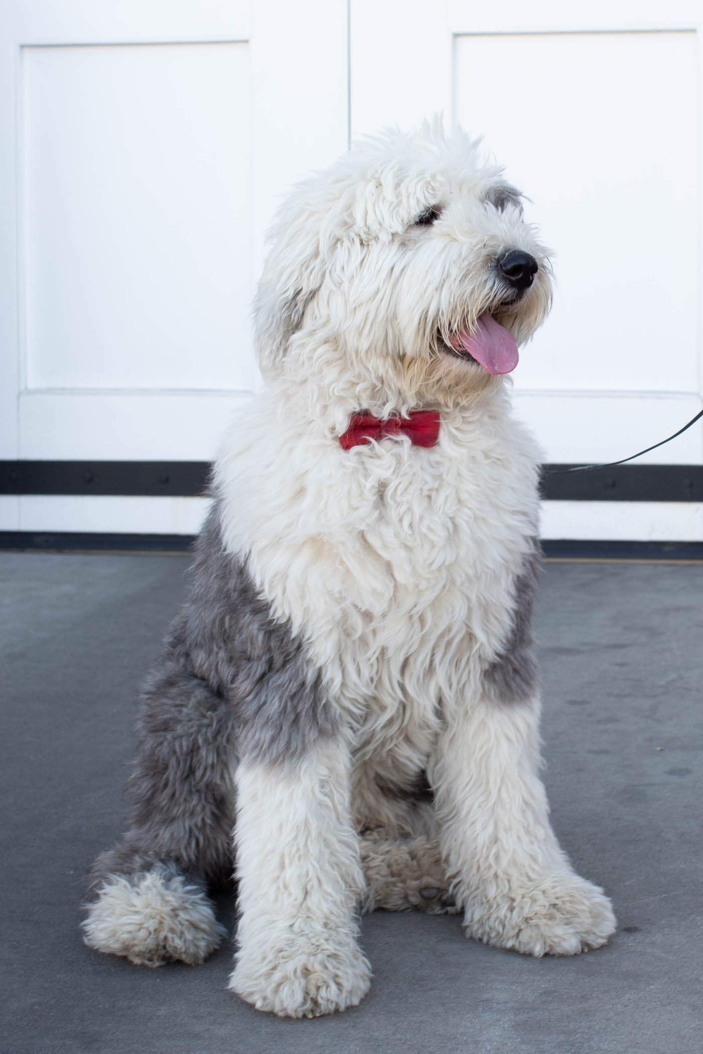 Sheepdog with bow tie