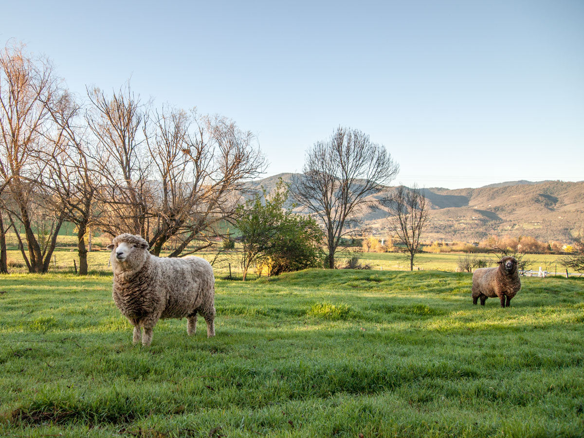 Silver Cloud Farms in Ashland Oregon.  Two big sheep in tall green grass with trees and mountains behind them.