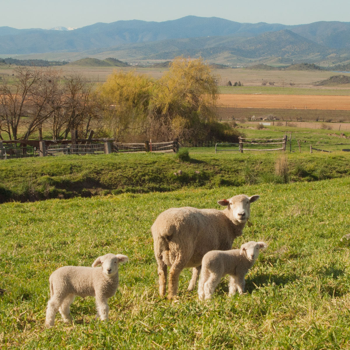 Tawanda Farms sheep on a farm in CA.  A Momma sheep and two little babies in a green field with mountains in the background on a sunny day.